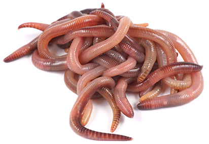 Dutch Red Worms
